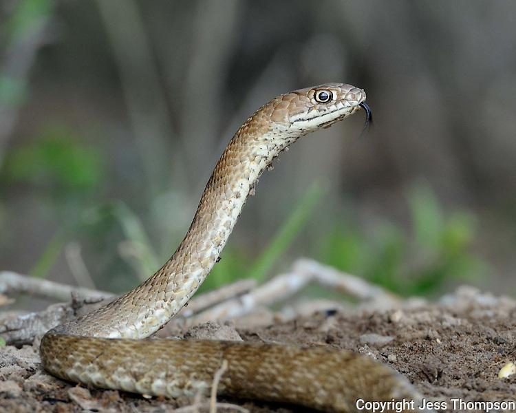 Coachwhip Snake, Garza Ranch, South Texas