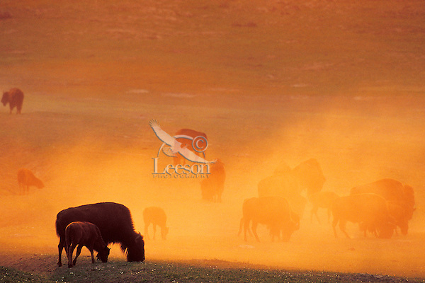 Bison herd feeding in prairie dog town.  Dust catching sunrise color.  Western U.S.  August.