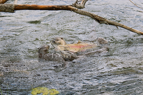 Northern River Otter (Lontra canadensis) mom with a rainbow trout while her young pups try to snatch a bite--they were still mostly nursing at this stage though certainly interested in the fish.  Western U.S., summer..