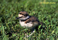 1K06-001z  Killdeer - young chick 1-2 days old - Charadrius vociferus