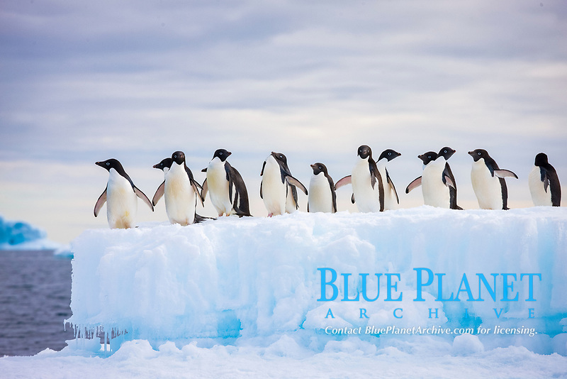 Adelie penguins, in a line, standing on an iceberg.