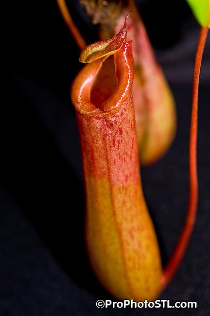 Nepenthes veitchii