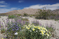 Desert in bloom with Arizona lupine (Lupinus arizonicus), Desert Dandelion (Malacothrix californica), Sheep Hole Pass, California, USA