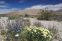 Desert in bloom with Arizona lupine (Lupinus arizonicus), Desert Dandelion (Malacothrix californica), Sheep Hole Pass, California, USA