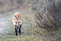 A young red fox photographed in the Grand Tetons.