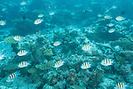Nilandhoo Kandu, Nilandhoo Island, Huvadhoo Atoll, Maldives; a school of Indo-Pacific Sergeant fish swimming over the hard coral reef (Acropora sp.)
