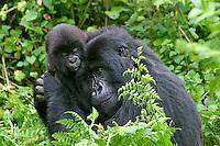 Female Mountain Gorilla caressing and nurture's her infant gorilla.