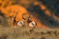 Pronghorn Antelope (Antilocapra americana) bucks running--dominate (larger buck on right) buck is chasing off smaller rival during fall rut.
