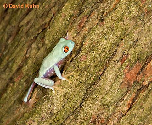 0306-0929  Red-eyed Tree Froglet (Young Frog) Climbing, Agalychnis callidryas  © David Kuhn/Dwight Kuhn Photography.