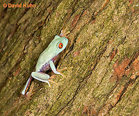 0306-0929  Red-eyed Tree Froglet (Young Frog) Climbing, Agalychnis callidryas  © David Kuhn/Dwight Kuhn Photography.
