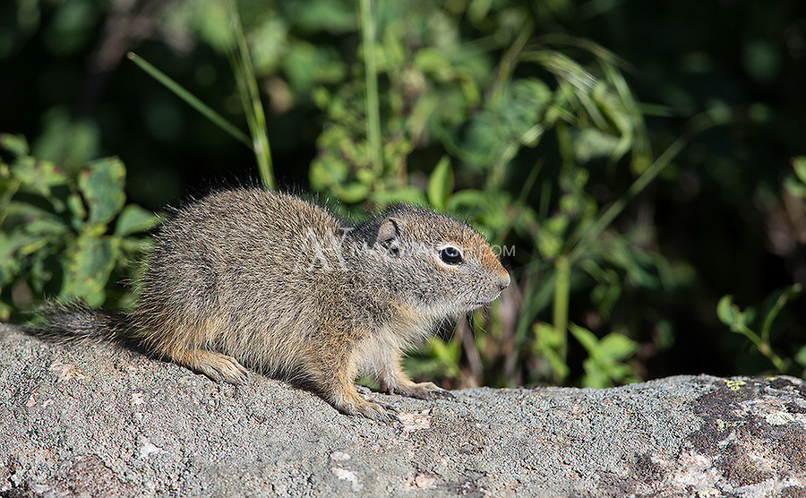 Uinta ground squirrels are a common sight in the Greater Yellowstone Ecosystem.