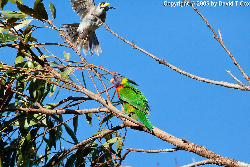 Rainbow Lorikeet & Noisy Miner, Nelson Bay, NSW, Australia