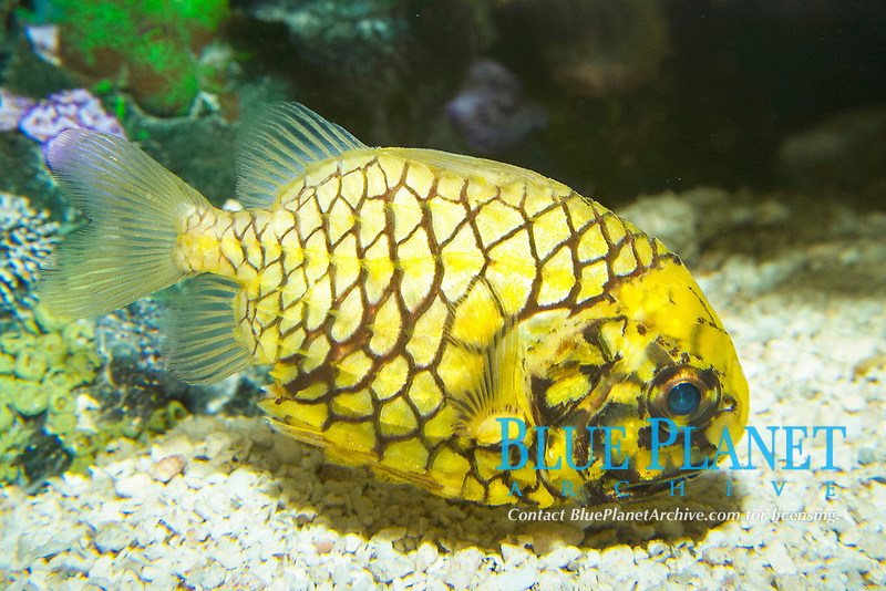 Port-and-starboard light fish. The fish, also called pinecone fish, have two light organs that are housed in pits in their lower jaws. The organs produce a greenish light that allows the fish to feed at night by luring small prey with their dim lights, Cleidopus gloriamaris