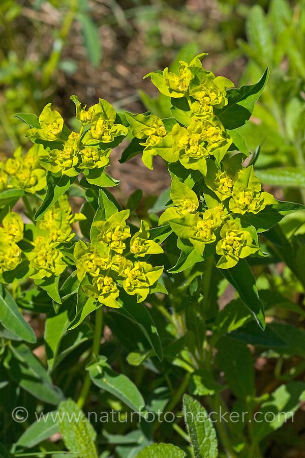 Warzen-Wolfsmilch, Warzen-Wolfmilch, Warzenwolfsmilch, Warzige Wolfsmilch, Euphorbia verrucosa, Wolfsmilchgewächse, Euphorbiaceae