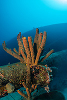Stove pipe sponge, Aplysina archeri, on the Wreck of the Hilma Hooker, Bonaire, Netherlands Antilles, Caribbean