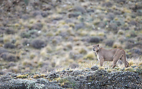 """This big dark male, which our guides nicknamed """"Oscuro"""" (literally, """"dark""""), won the affection of the female puma in heat.  He was the darkest puma I've ever seen."""