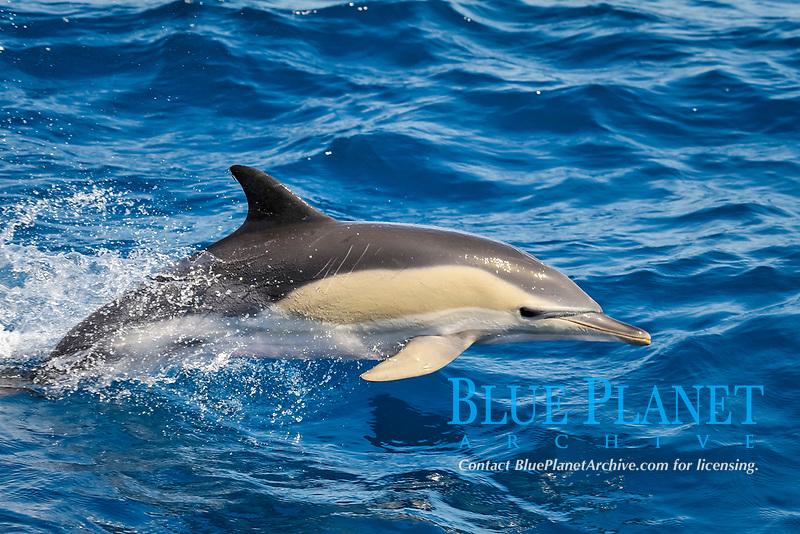 Short-beaked Common Dolphin, Delphinus delphis, porpoising, west of Pico Island, Azores, Atlantic Ocean