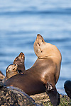 La Jolla, California; a female California sea lion and her pups basking in early morning sunlight, while resting on the rocky shoreline along the Pacific Ocean