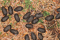 Losung vom Rotwild, Rot-Wild, Rothirsch, Rot-Hirsch, Edelhirsch, Cervus elaphus, Red deer, Cerf élaphe