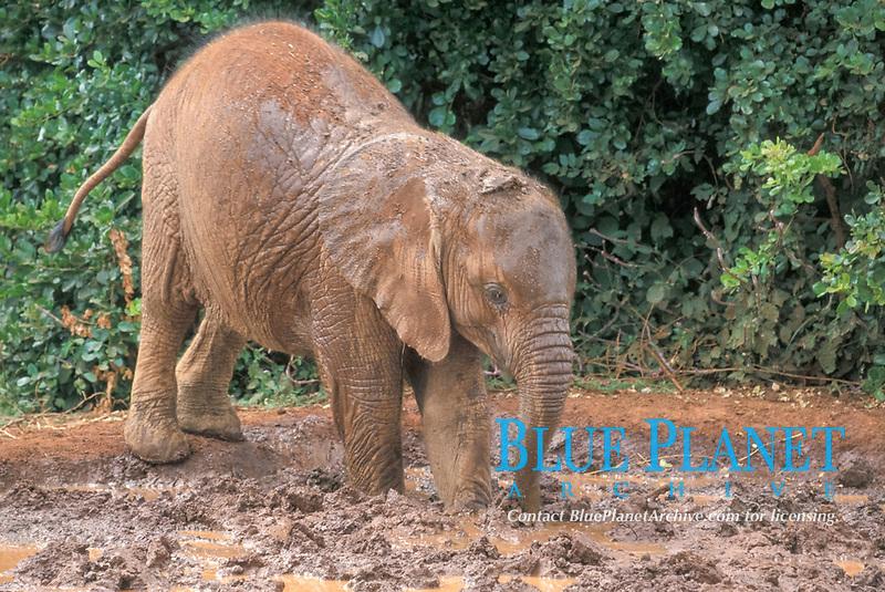 African Elephant (Loxodonta africana), young at mud wallow, Kenya, Africa
