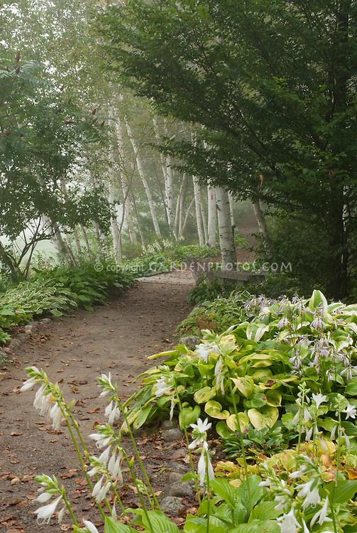 Shade woods garden with birch trees, hostas in bloom, dirt path