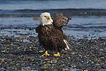 A bald eagle on the shore of Homer, Alaska.