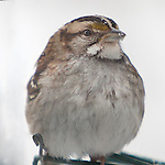 Fluffy white throat sparrow on suet feeder, with food particles on its beak