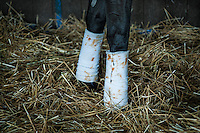 Bandaged legs of a thoroughbred race horse.