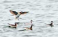 Wilson's and red-necked phalaropes. The four birds to the left are Wilson's phalaropes, three females and one male, all in breeding plumage. The single female red-necked phalarope was feeding with a large flock of Wilson's phalaropes at the Hornsby Bend waste water treatment plant in Austin, TX on May 12, 2014.