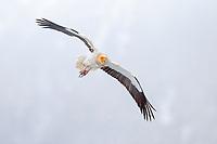 Egyptian Vulture (Neophron percnopterus) in flight, Pyrenees, Aragon, Spain, Europe