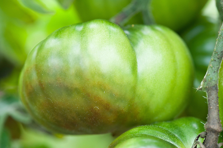 Tomato infected with blight. Sometimes known as tomato late blight to distinguish it from tomato early blight, caused by a different fungus: Alternaria solani.. Sometimes known as tomato late blight to distinguish it from tomato early blight, caused by a different fungus: Alternaria solani.
