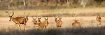 Herd of male barasingha or swamp deer (Cervus duvaucelii) - dry or hard ground subspecies found only in Kanha National Park, Madhya Pradesh, Central India.