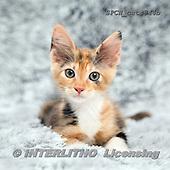 Xavier, ANIMALS, REALISTISCHE TIERE, ANIMALES REALISTICOS, cats, photos+++++,SPCHCATS844B,#a#