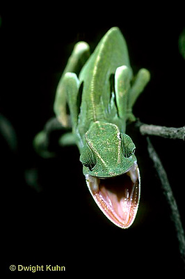 CH31-005z  African Chameleon - mouth opened in threat to intruder - Chameleo senegalensis