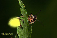 1C24-821z  Pyralis Firefly - Lightning Bug - Male - Photinus spp.
