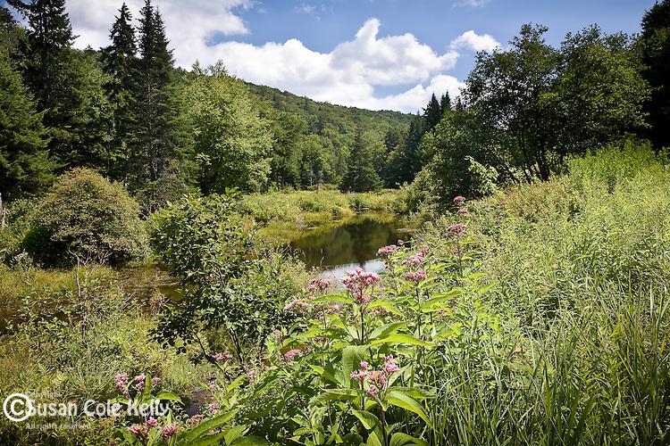 Wildflower meadow,  Green Mountain National Forest, Somerset, VT, USA