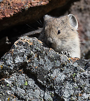 We saw pikas in a few spots in and near the park, and were able to photograph some youngsters near Hellroaring.