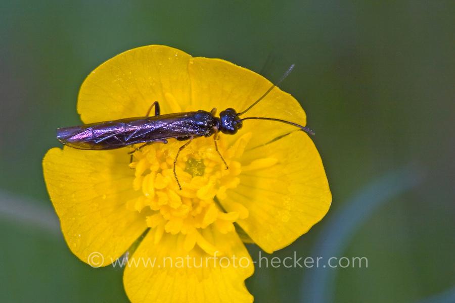 Halmwespe, Cephus pallipes, Calameuta pallipes, Halmwespen, Cephidae