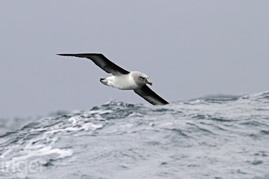 Grey-headed Albatross in the Southern Ocean swell