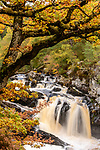 Rogie Falls and autumn woodland with Common oak or pedunculate oak (Quercus robur). Caledonian forest, Reilig Glen, Scottish Highlands. Scotland. October.