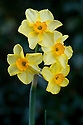 Daffodil (Narcissus 'Golden Dawn'), early April.