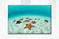 Pincushion Starfish