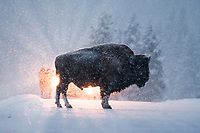 Bison In The Headlights