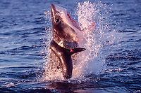 great white shark, Carcharodon carcharias, breaches to attack South African (Cape) fur seal pup, Arctocephalus pusillus pusillus, False Bay, South Africa (1 of 5)