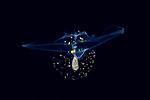 Blackwater Scuba Diving, Gulf Stream Current, Plankton, planktonic marine life, Vertical migration, Corolla spectabalis, Sea Butterfly, pelagic mollusk