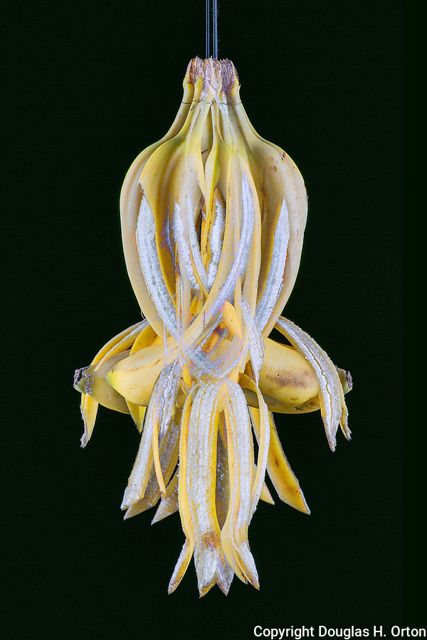 Unique portrait of a Banana on a string.  Multiple exposure on black background.