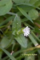 FW09-500z Mouse-ear Chickweed, Cerastium fontanum