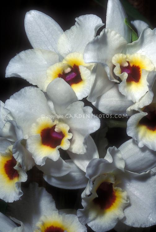 Dendrobium nobile hybrid