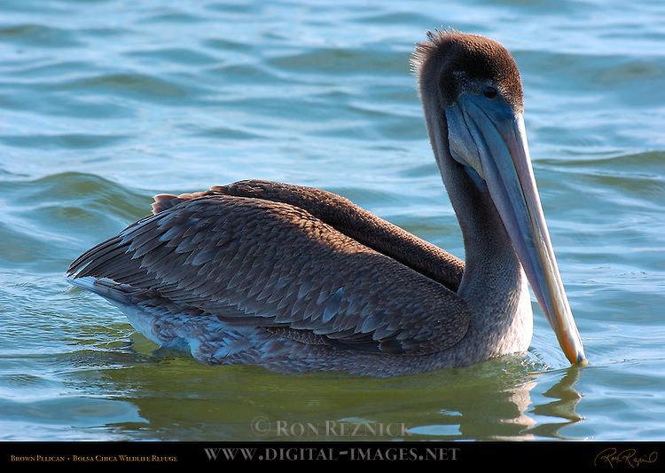 Brown Pelican Juvenile, Bolsa Chica Wildlife Refuge, Southern California