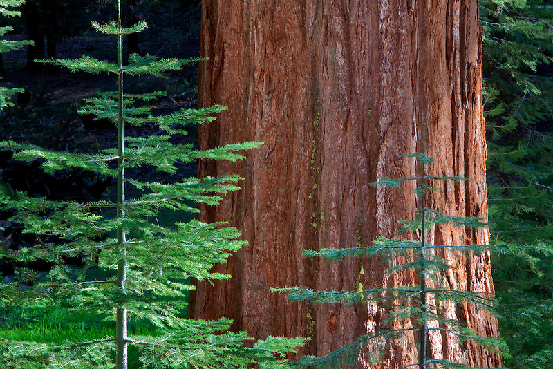 Giant Sequoia Redwood with smaller fir tree. Mariposa Grove. Yosemite National Park, California